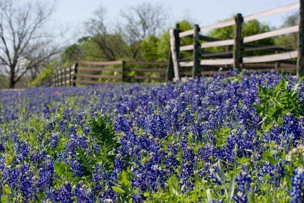 Bluebonnets Along a Fence